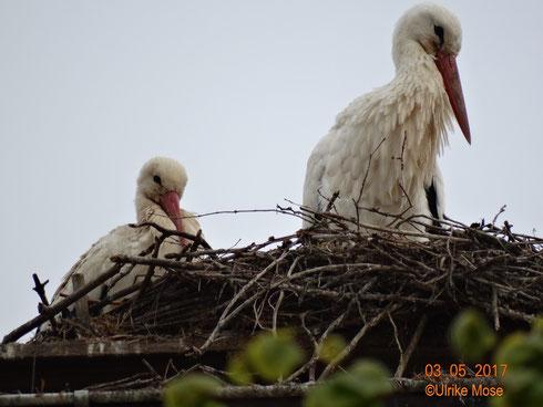Das neue Storchenpaar ist auf dem Nest der kath. Kirche eingezogen!