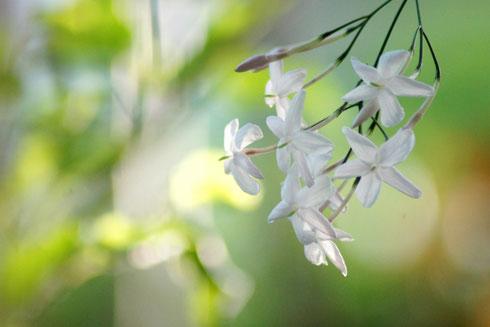 ジャスミンテイーは、このジャスミンの白い花を茶葉に香りづけしたもの