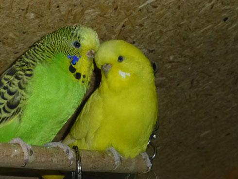 Es ist die gelbe Henne, die grüne ist Achmed
