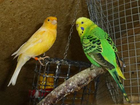 Mit den Kanarien klappt es ganz gut bis das dieser Vogel ständig stiften geht. Der ist ganz schlau der Pepe. Hier mit Cera