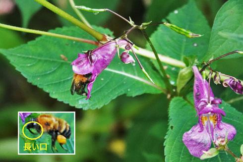 写真2.ツリフネソウに入って吸蜜するマルハナバチ