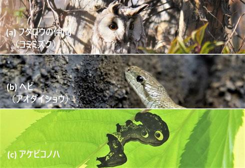 写真2 鳥をねらう生き物の目玉とアケビコノハの目玉もよう