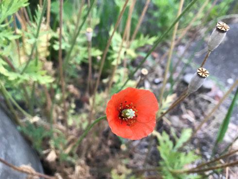 写真1. ナガミヒナゲシの花と果実 -2020/5/16 枚方市香里ケ丘(左下は電柱)