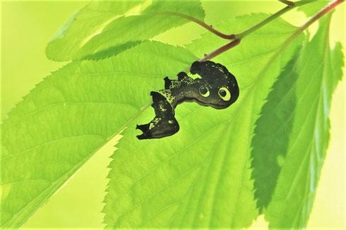 写真1 アケビコノハのイモムシ