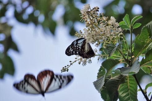 写真1.リョウブで吸蜜するアサギマダラ(ちはや園地)