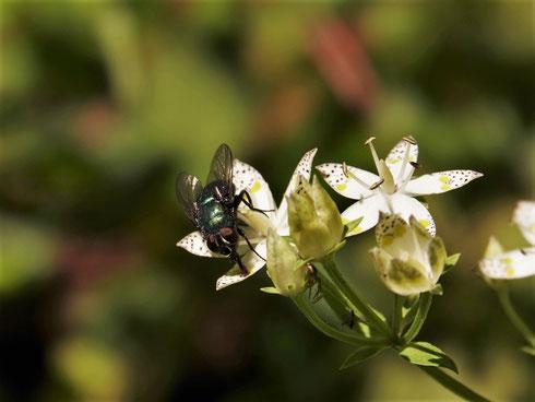 写真3.アケボノソウで吸蜜するキンバエの仲間