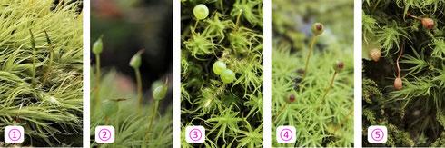 写真2 タマゴケの蒴(さく)が成長する様子