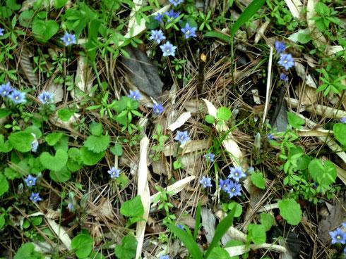 2015/4/26 フデリンドウの群生