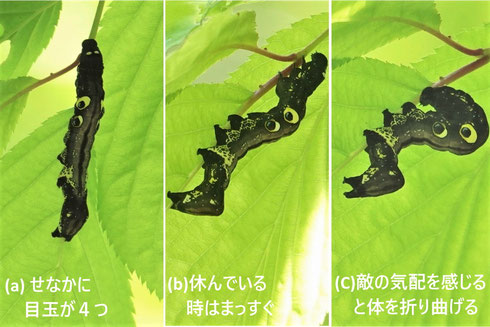 写真3 アケビコノハの目玉の見せ方