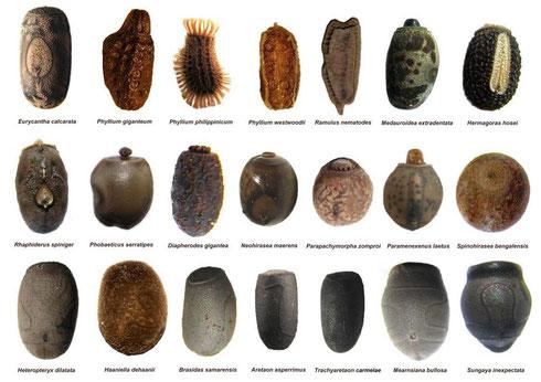 写真5.さまざまなナナフシのたまご 出展:wikipedia Dragus CC 表示-継承 3.0 https://ja.wikipedia.org/wiki/ナナフシ#/media/ファイル:21_Phasmid_Eggs.jpg