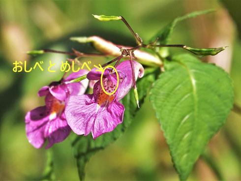 写真1.ツリフネソウの花