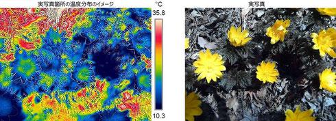 写真3.花の中心部の温度が上がっている様子。