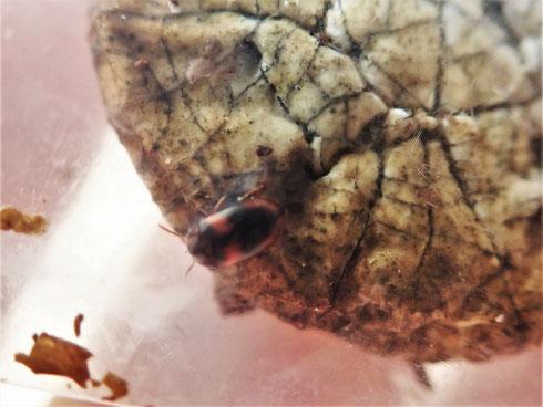 写真3 ヒトクチタケから出てきたゴミムシダマシの仲間(ベニモンキノコゴミムシダマシ)