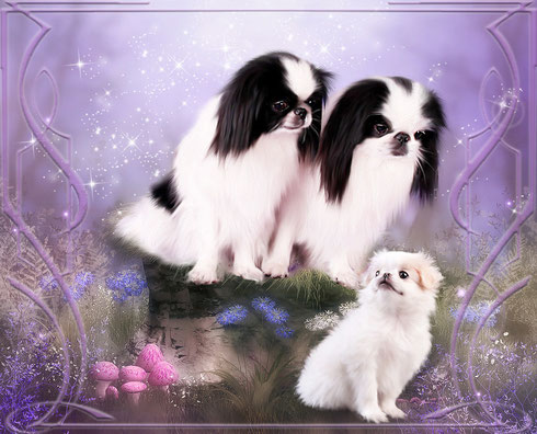 японские хины в украине, питомник Квитка Сакуры, щенки японского хина