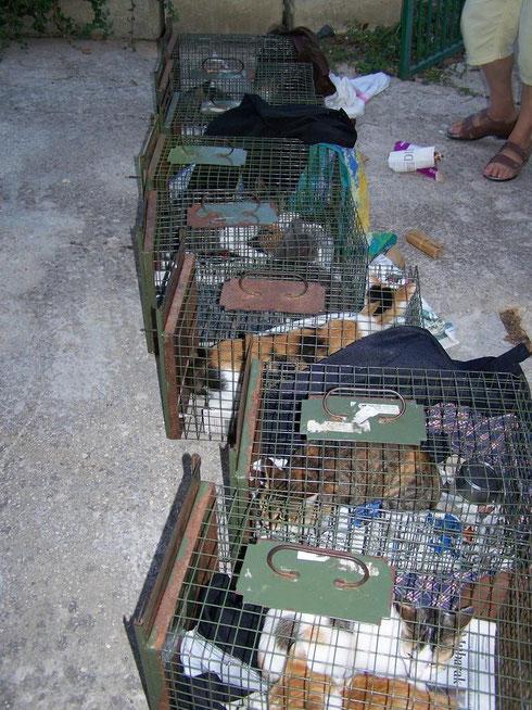 Streunerkatzen auf Malta werden eingefangen um kastriert zu werden