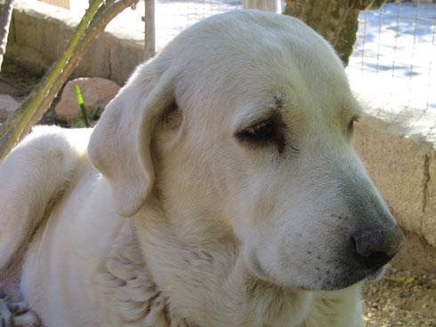 Shira - Labrador-Mastin Hündin