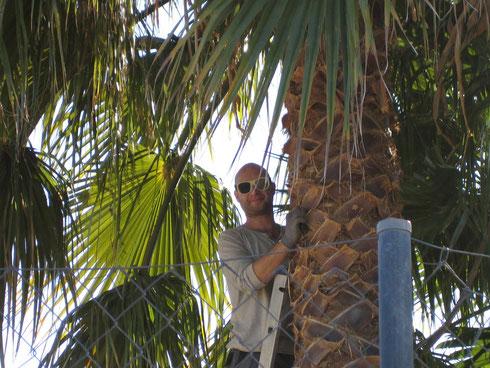 Abgestorbene Palmwedel mussten entfernt werden