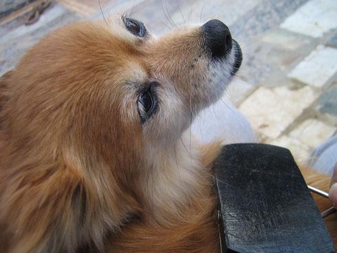 Ginger genießt die Fellpflege
