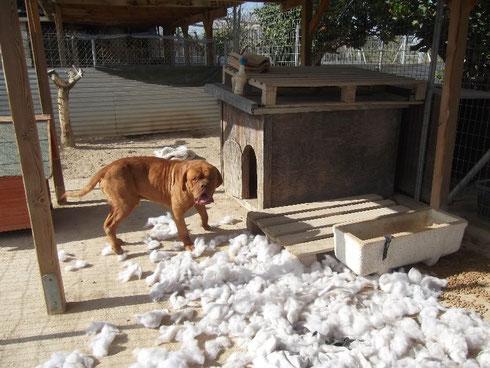 Amigo schwört, daß ihn das Hundekissen angegriffen hat! Es war reine Notwehr!