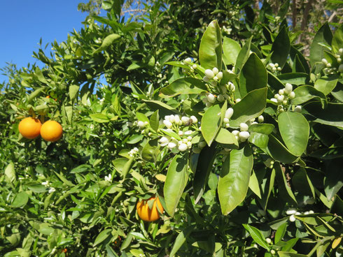 Die Orangenbäume blühen, Daria!
