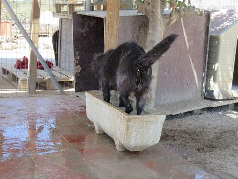 Curro II nimmt ein erfrischendes Fußbad (Refugio Esperanza, Spanien)