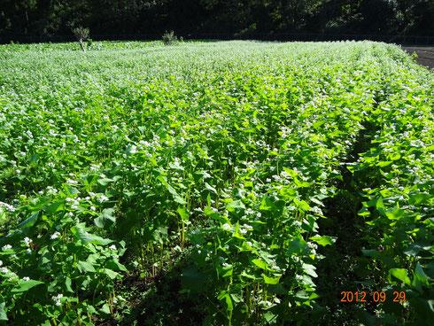 蕎麦は、美しく成長してマース : 10月27日収穫予定