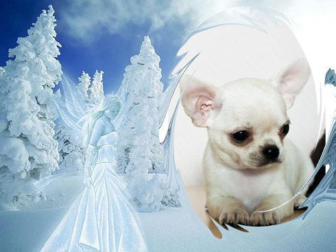 питомник чихуахуа в Новосибирске, щенки чихуахуа в питомнике Валери Каприз, купить щенка чихуахуа в новосибирске.