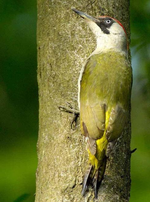 Sein Lebensraum sind halboffene  Wälder, Streuobstwiesen, Parks,  Gärten und städtische Brachflächen.  Foto: NABU/ Tom Dove