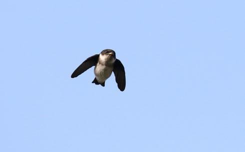●飛翔するイワツバメ2。確かに丸っこいですね。