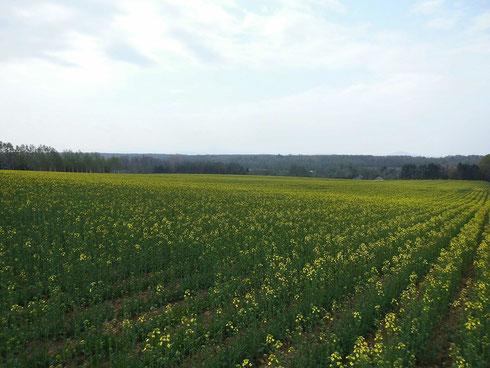 5/12に撮影した畑です