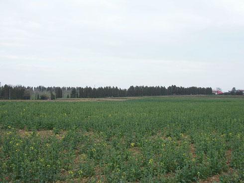 江部乙丘陵地、一番北側の菜の花畑です