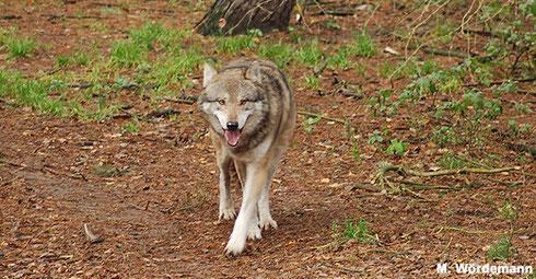 Der Wolf - hier im Wildpark Schorfheide