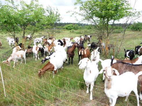 Die Ziegen sorgen für die Offenhaltung der Nahrungshabitate von Wiedehopf, Steinschmätzer und Heidelerche