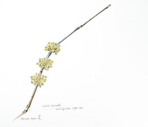 D.T.E. van der Ploeg Cornus mas L. ingekleurde tekening
