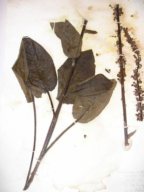 Beschimmeld herbariummateriaal