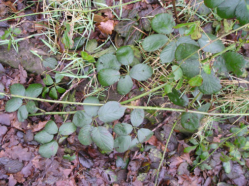 Rubus tubanticus Beek   Steenwijkerwold