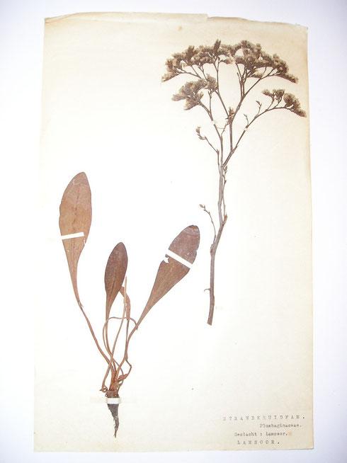 Herbarium K.M.C. Zevenboom  collectie  herbarium frisicum