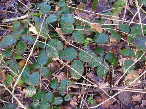 Rubus pedemontanus Pinkwart  Oldeberkoop