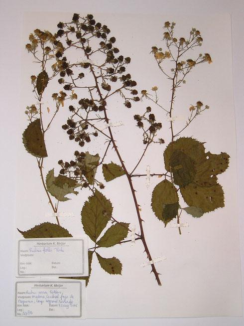 Rubus bollei Focke Madeira   collectie herbarium frisicum