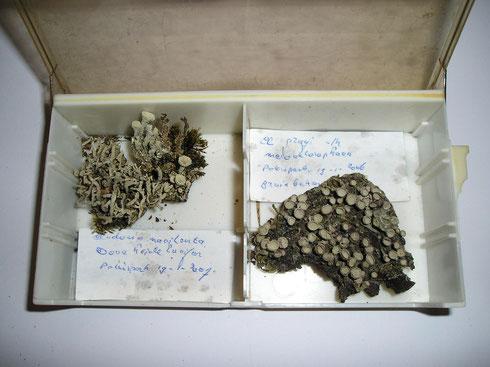 Enkele korstmossen  collectie  herbarium frisicum