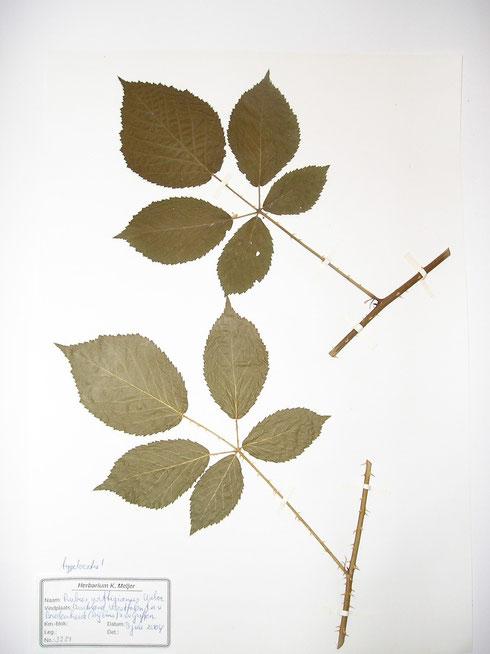 Rubus wittigianus Weber typelcatie Duitsland