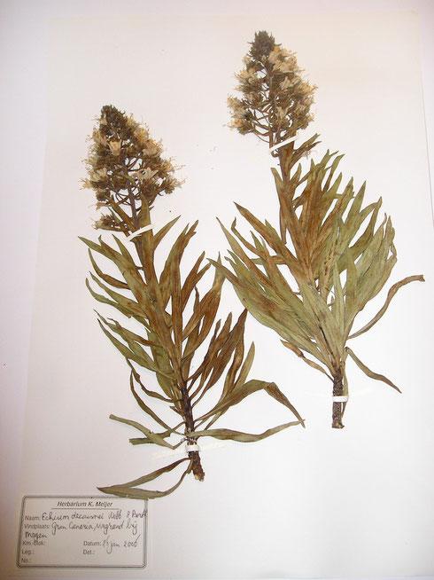 Echium decaisnea Webb & Porth Cran Canaria collectie herbarium frisicum