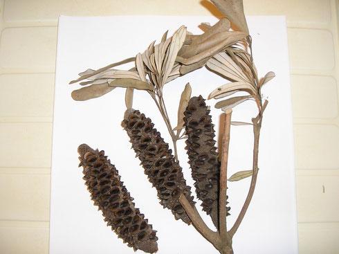 Banksia integrifolia L. Australie