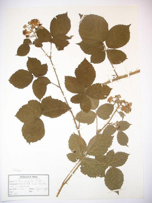 Rubus spiculus Meijer