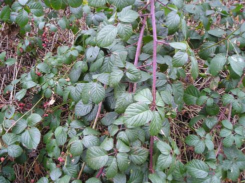 Rubus glandithyrsos G.Braun  Steenwijkerwold