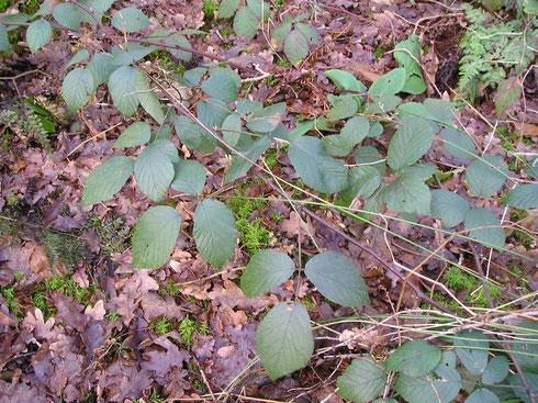 Rubus flexuosus P.J.Muller & Lef.  Noordwolde