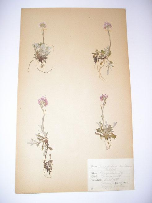 Herbarium Osten Wallin  collectie Herbarium Frisicum
