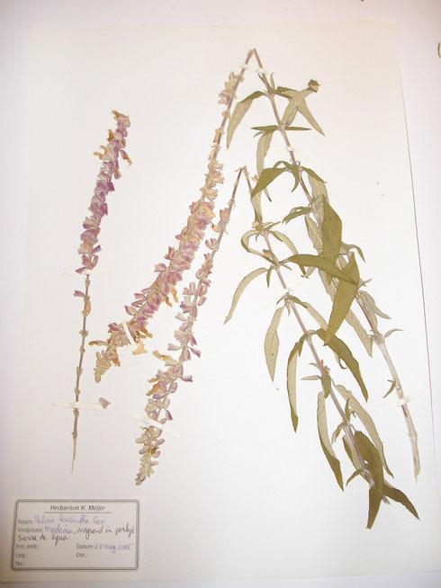 Salvia leucantha Cav. Madeira  collectie Herbarium Frisicum