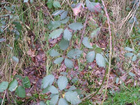 Rubus lindleianus Lees  Steenwijkerwold