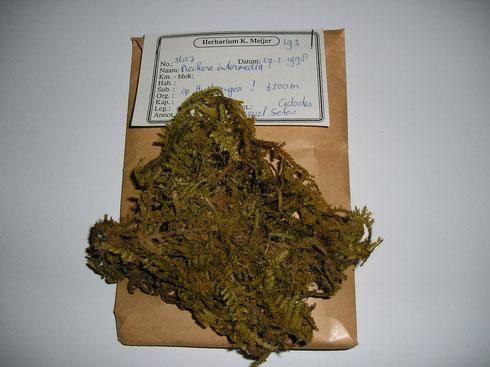 Neckera intermedia wordt getoont van de Azoren